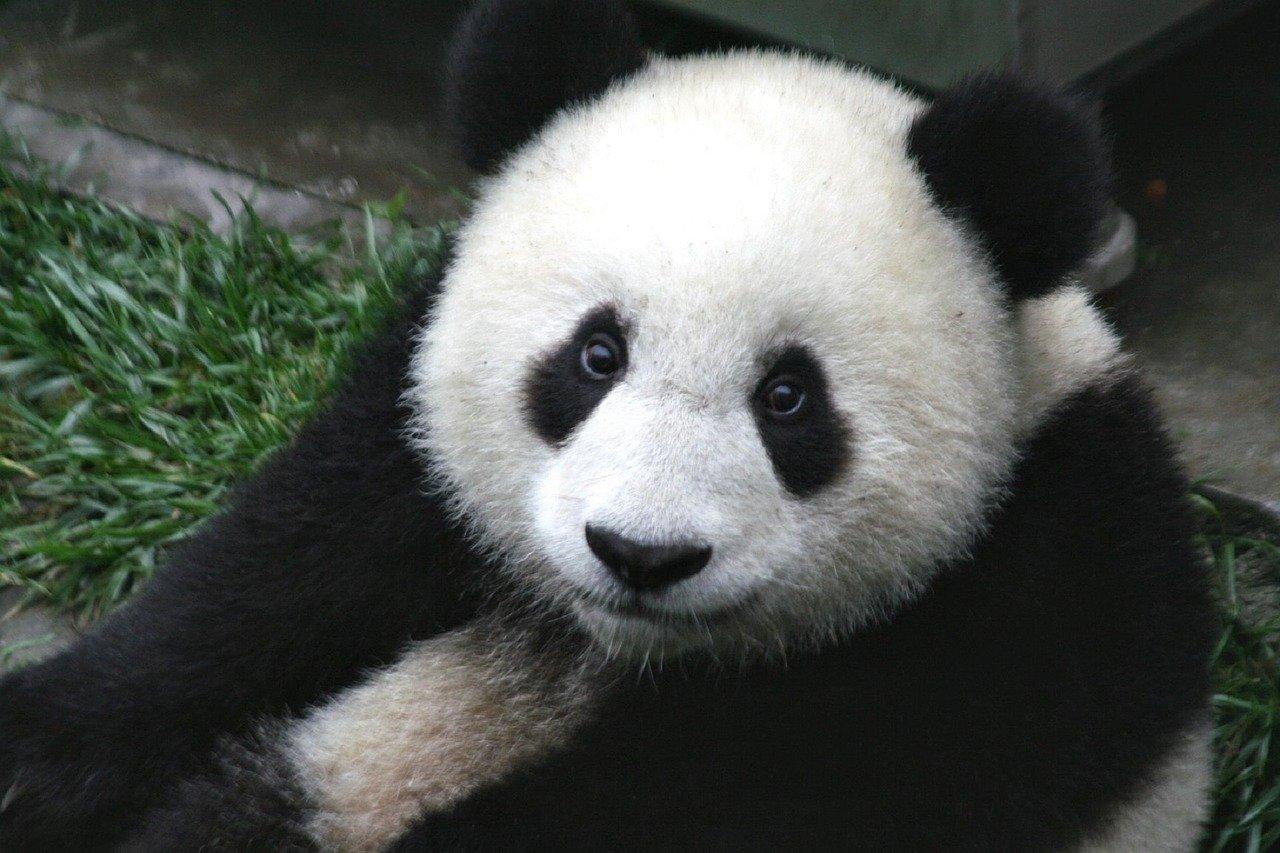 PANDA GROS PLAN VISITE ZOO